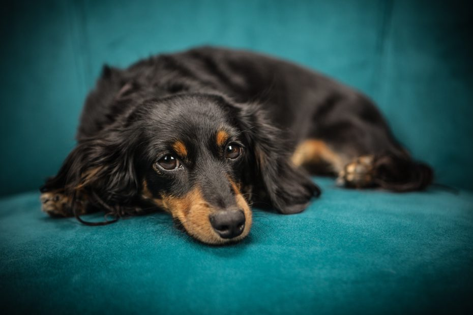 black and tan dachshund to illustrate story on the power of pets